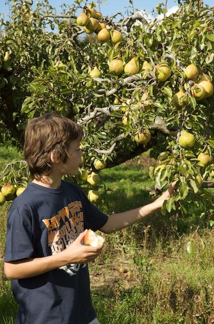 Picking fruit at Elwell Farm